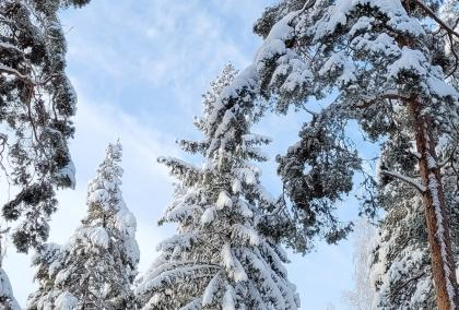There are snowy pine trees, photographed from the ground up. The sky behind the trees is blue and sunny.